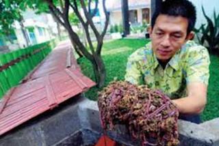 cacing tanah merupakan salah satu binatang  Kabar Terbaru- TERNAK CACING TANAH UNTUK PAKAN IKAN