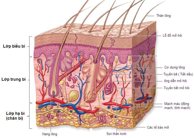 Bí quyết làm đẹp da Cấu trúc và chức năng của da