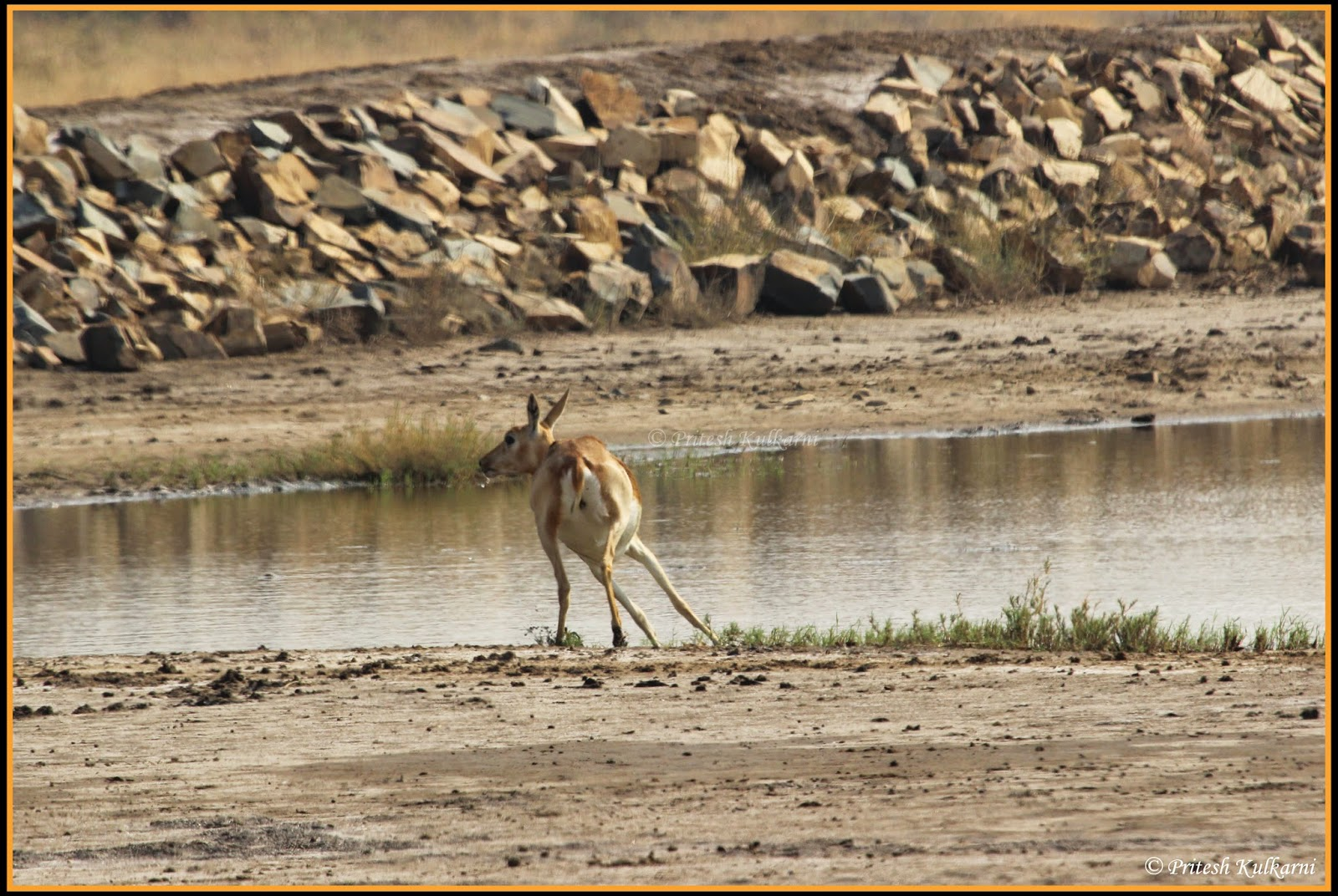 Running Blackbuck