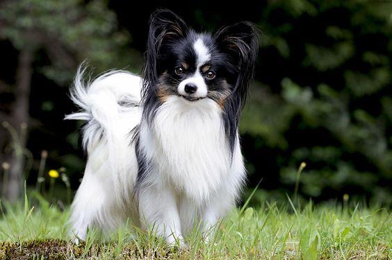كلب البابيلون