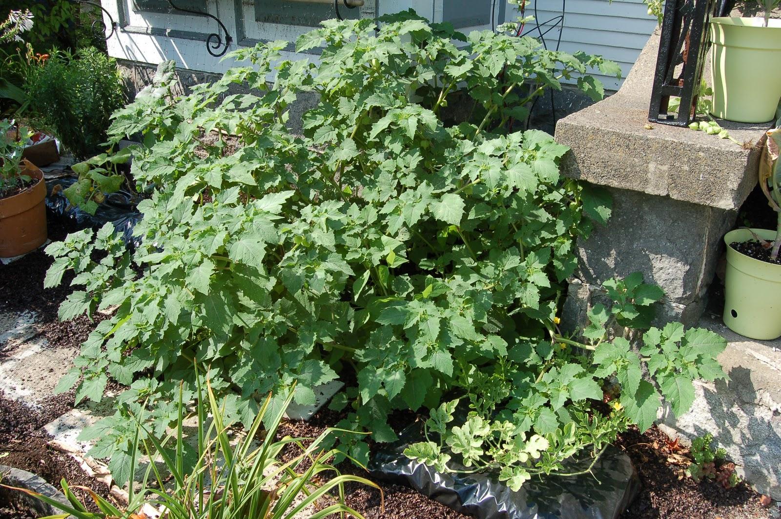 3 jardins au qu bec les succ s et les checs 2011 partie 2 - Planter un noyau de cerise ...