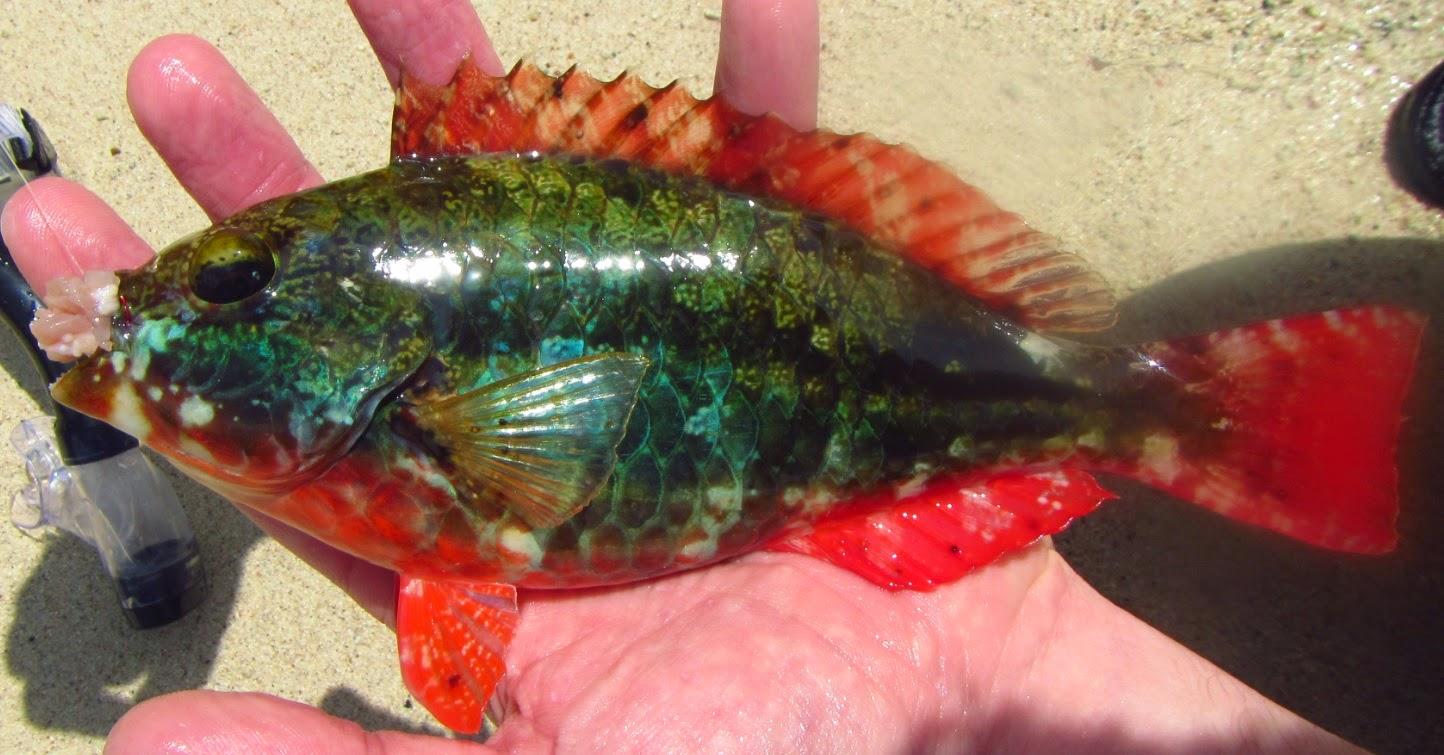 Soortenjager: Soortenjagen in Curaçao (Deel 5: vissen in ...  Tarpon