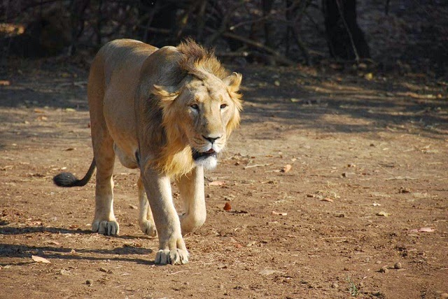 Asiatic Lion, Sasan Gir National Park, Gujarat