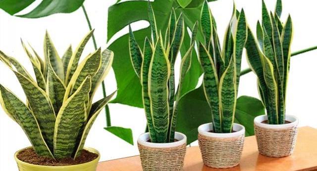 Британские ученые назвали три комнатных растения, улучшающих здоровье