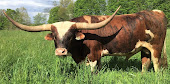 Grow your own Texas Longhorn beef