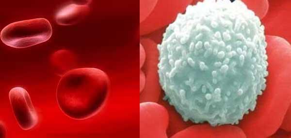 Tentang sel darah merah dan sel darah putih