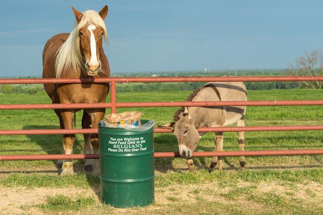 Belgian Horse and Donkey, Sugar Ridge Road