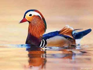 सपने में बतख देखना sapne me duck ko dekhna