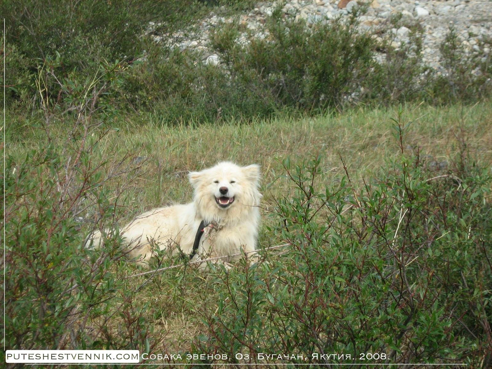 Собака на стойбище эвенов Якутии