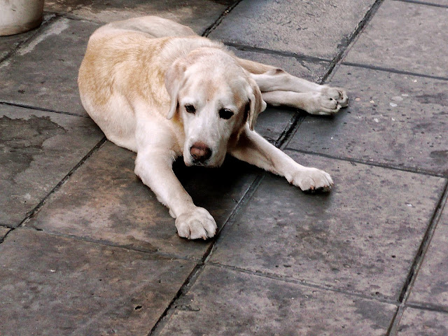Perro echado en el suelo