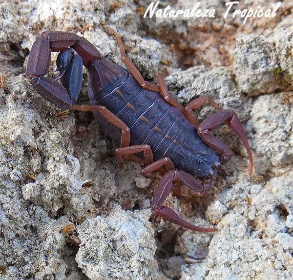 El escorpión colorado, Centruroides gracilis