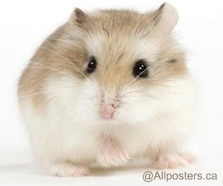 Hamster terkecil Roborovski