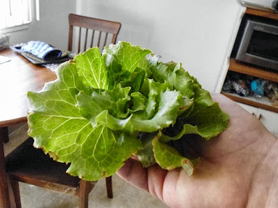 Nevada Lettuce harvested
