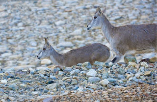 You will see a group of Tibetan antelope enjoy their good time at Everest base camp.