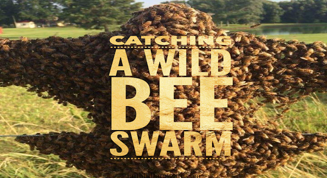 Homestead Blog Hop Feature - cathcing a wild bee swarm