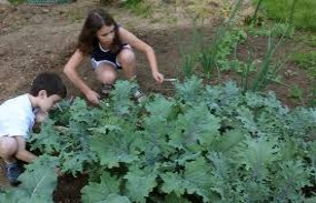 children harvesting kale