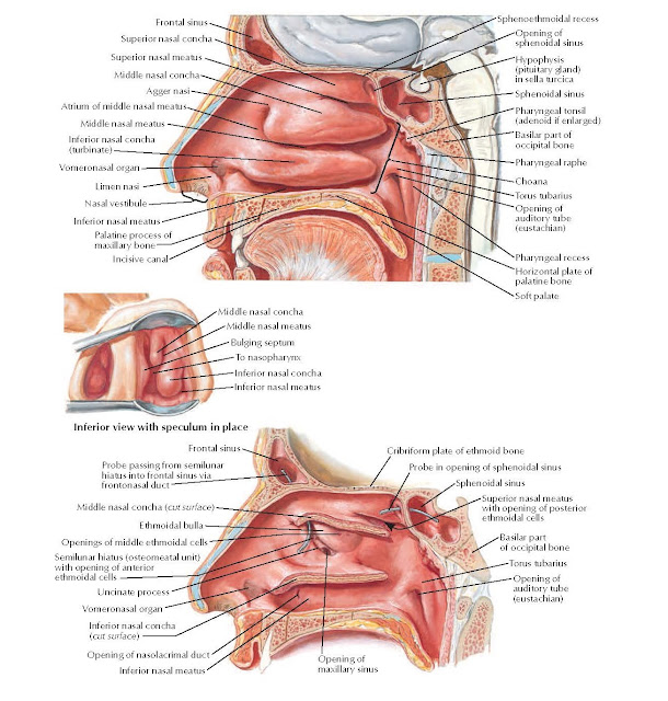 Lateral Wall of Nasal Cavity Anatomy