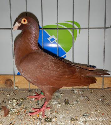 wattle pigeons szolnok