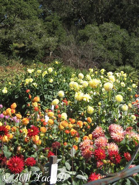 Dahlia Garden: LadyD Books