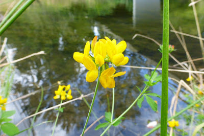 Eugene, Oregon, Alton Baker Park, canoe way, canoeway, boating, summer, water, stream, paddling, canoeing, waterway, yellow flower