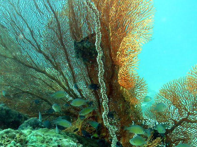 soldier fish, fan corals, malacca straits, koh lipe, thailand, underwater