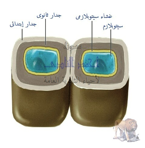 آليات المناعة التركيبية ( خط الدفاع الأول ) - تراكيب موجودة سلفاً فى النبات - الخدار الخلوى-السيليلوز واللجنين