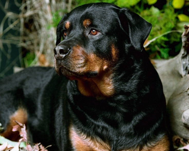 Nature of a Rottweiler - Annie Many