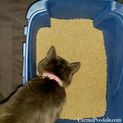 Molly sniffing the Weruva cat litter
