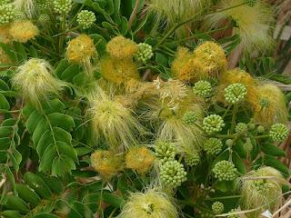 Bois noir des bas - Albizia lebbeck
