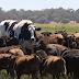 Boi gigante escapa do abate por não caber no matadouro