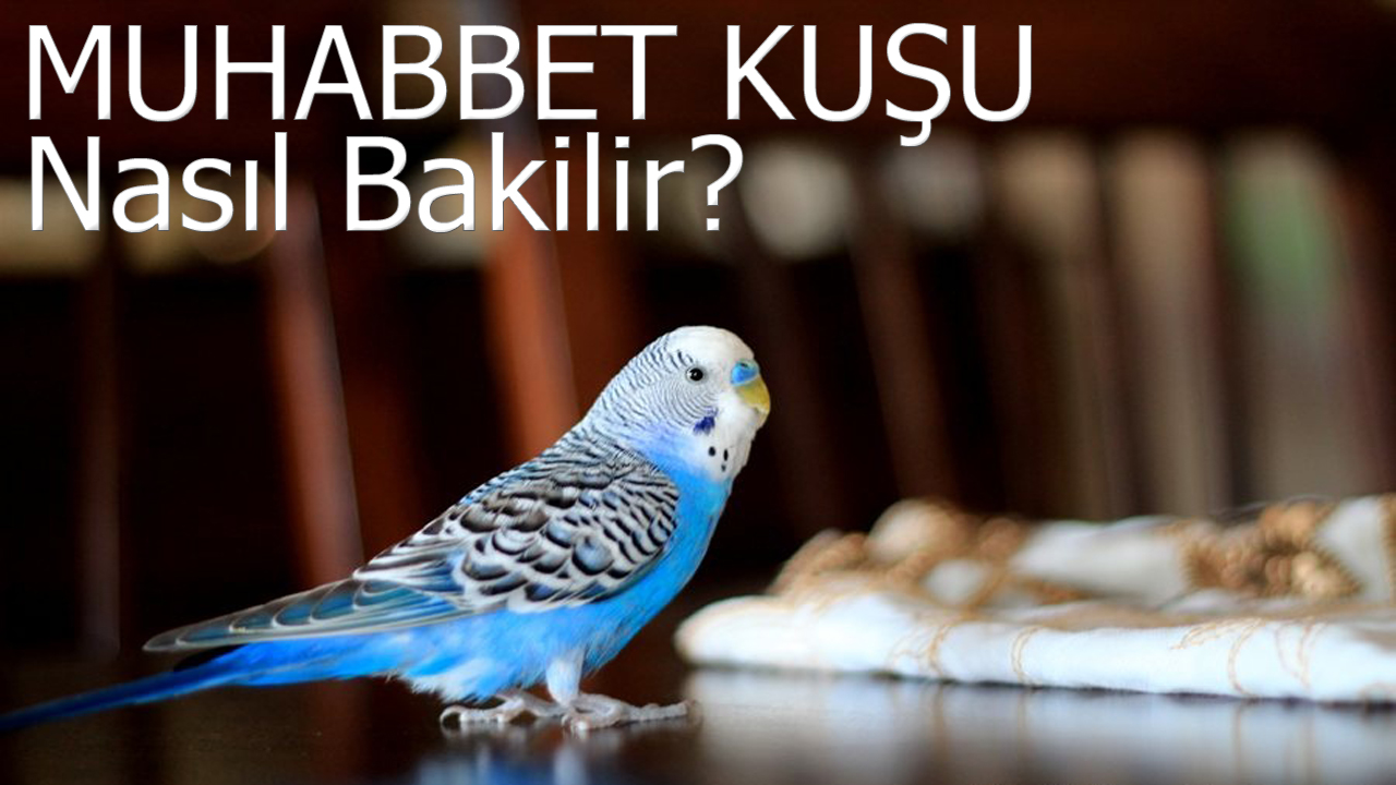 Muhabbet Kuşu Nasıl Konuşturulur
