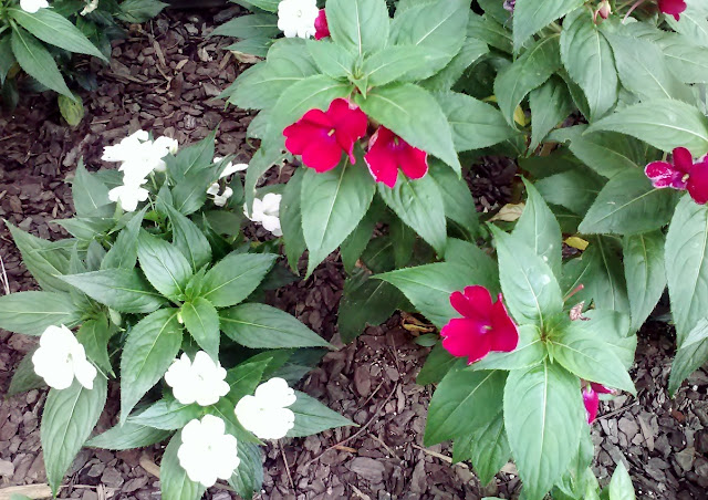 Vincas and mulch #gardening how I want my flowerbeds to look