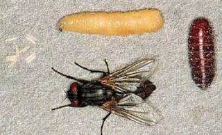 reconnaître oeufs, larves, nymphes de mouches