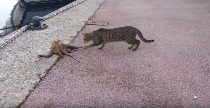 Γάτα vs χταπόδι (βίντεο)