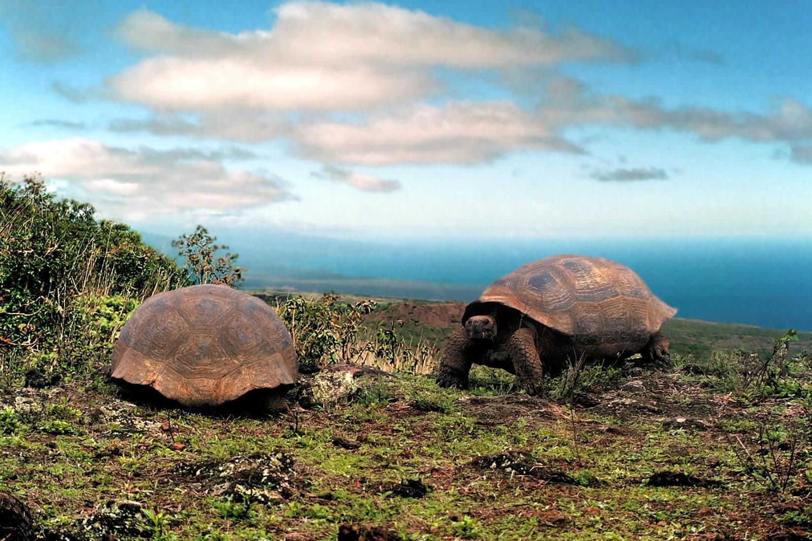 Tartaruga de Galapagos