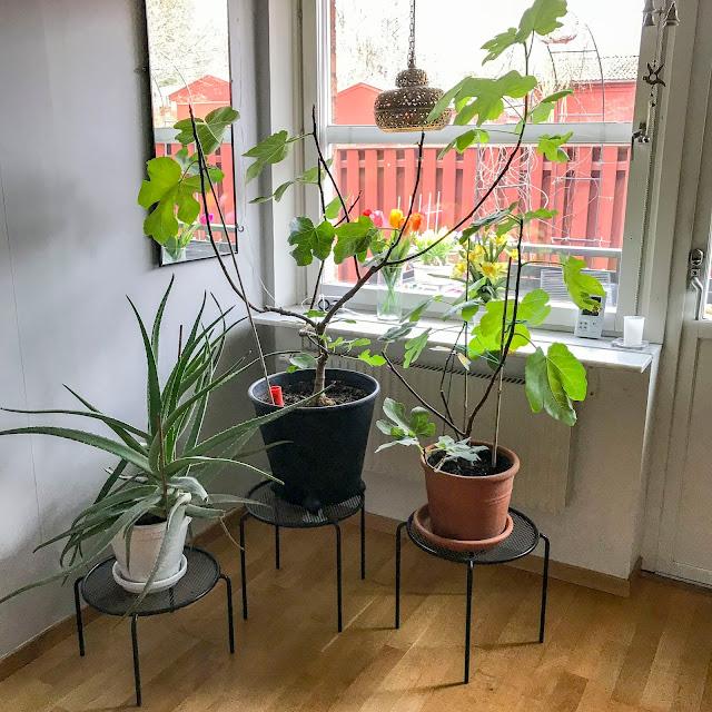 aloevera, fikonträd