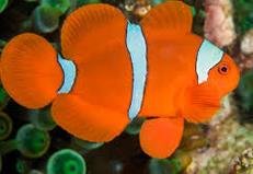 Badut Clownfish