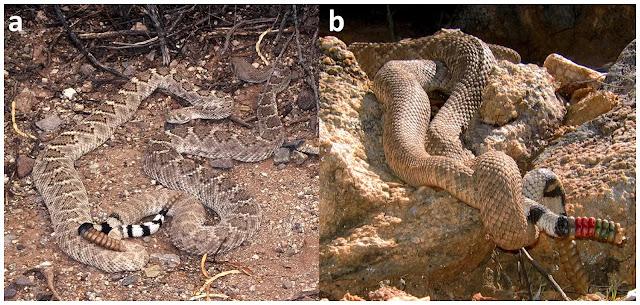 ular kawin
