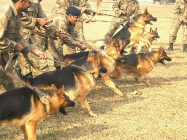 German Shepherd Dog Pak Army Dogs