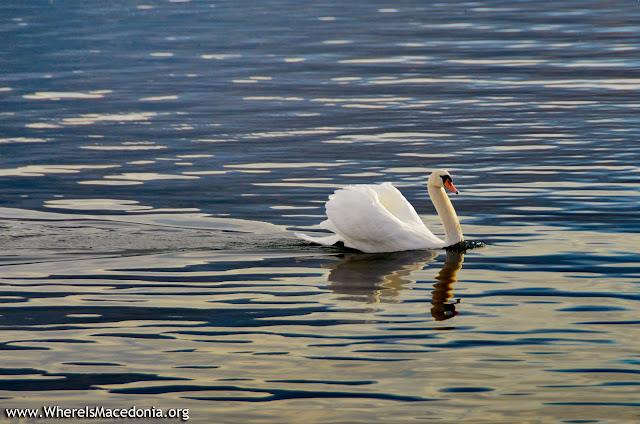Swan - Ohrid Lake, Macedonia