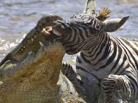 As zebras vivem entre feras, tendo os leões como principais predadores. Suas únicas defesas são; a corrida, o coice e a mordida.  Curiosamente, ser um herbívoro, vivendo cercado de feras, não é exatamente um problema para as zebras. Há registros de leões que foram mortos ao terem a mandíbula quebrada pelo poderoso coice de zebra.