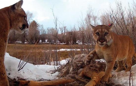 Laporan Penelitian Sanga Puma concolor Adalah Karnivora Sosial, Bukan Soliter