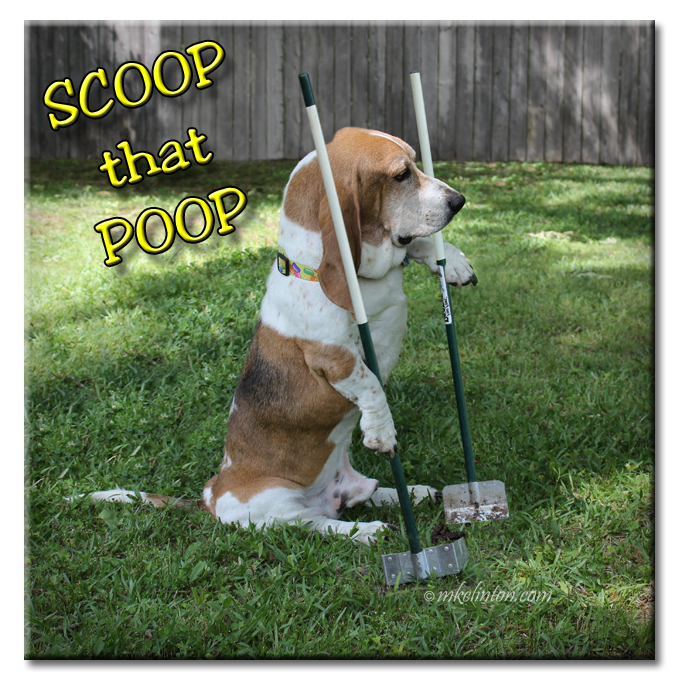 Bentley Basset Hound scooping his poop.