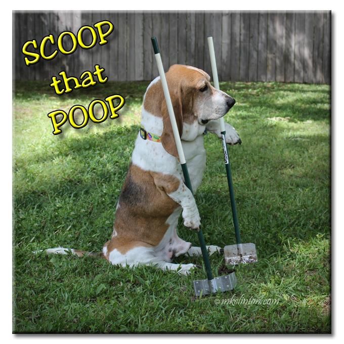 Bentley Basset Hound scooping his poop.