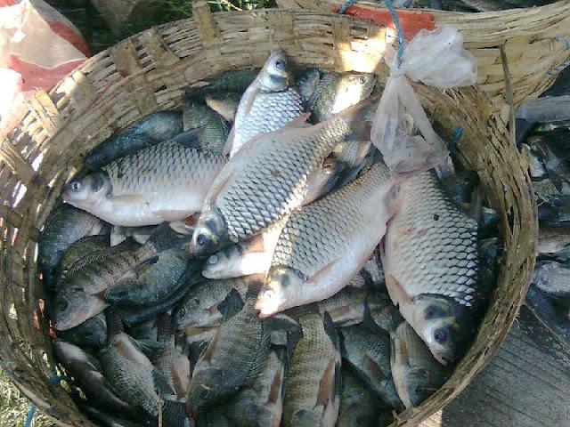 Gambar Ikan bader ( Perca sp. ) bernafas dengan insang dan termasuk jenis ikan bertulang sejati