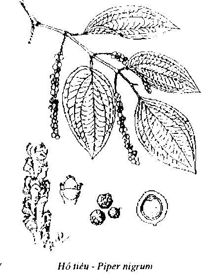 Hình vẽ Hạt Tiêu - Hồ Tiêu - Piper nigrum - Nguyên liệu làm thuốc Chữa Bệnh Tiêu Hóa