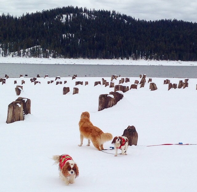 Blenheim Cavalier King Charles Spaniels playing by lake in Sierra Nevadas