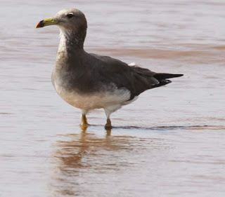 Photo of sooty gull (Larus hemprichii) wading