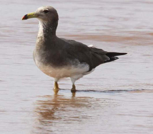 Sooty gull photos