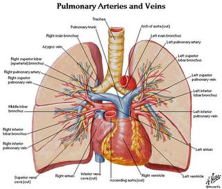 Medicina Islamica Anatomi Pulmo Paru